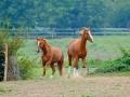 marca-di-rosa-cavalli-in-liberta-22