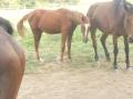 marca-di-rosa-i-cavalli-di-giulia-14