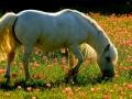 marca-di-rosa-il-pony-bianco-25