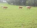 castel-drugolo-bestiame-al-pascolo-1