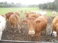 castel-drugolo-bestiame-all-abbeverata-2