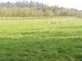 castel-drugolo-pecore-al-pascolo-17