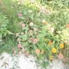 villa Cantoni Marca Di Rosa - fiori antichi